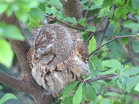 Rick Todaro - Sleepy Little Owl