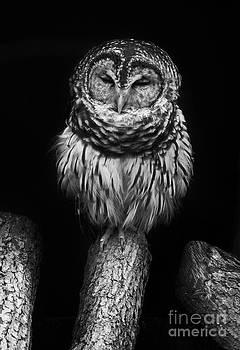 Sleepy little Spotted Owl by Lynn Jackson