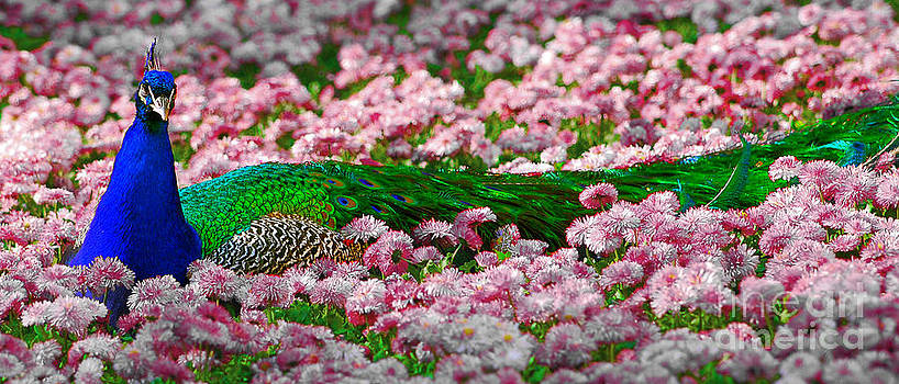 Sleepy Peacock by Lilianna Sokolowska