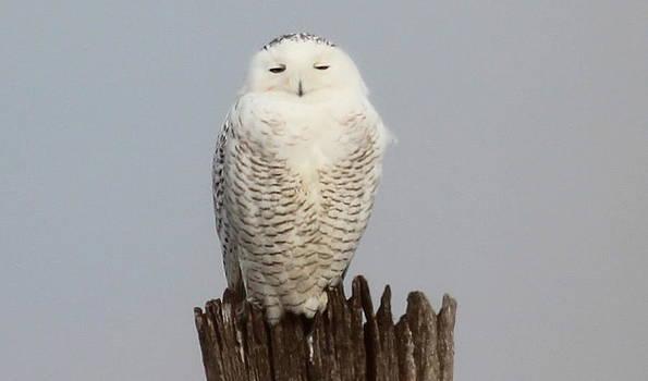 Sleepy Snowy Owl by Gene Alderson