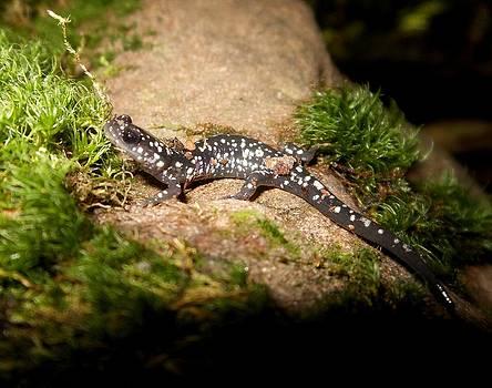 Slimy salamander - Plethodon glutinosus by Kortney  Jaworski
