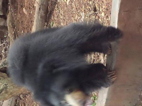 Sloth Bear by Sunanda Yapa