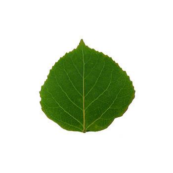 Small Green Aspen Leaf 1 - Print Version by Agustin Goba