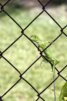 Small Green Iguana by Lee Serenethos