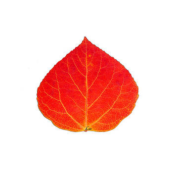 Small Red Aspen Leaf 1 - Print Version by Agustin Goba