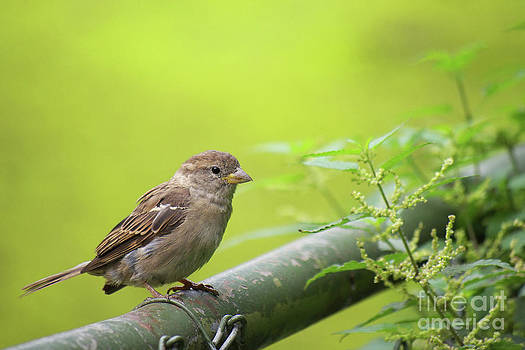 Angela Doelling AD DESIGN Photo and PhotoArt - Small sparrow