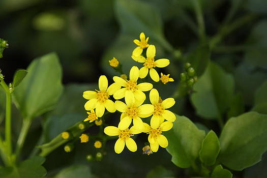 Small yellow flowers by Goyo Ambrosio