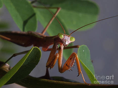 Smile Mr. Mantis by Melissa Lightner