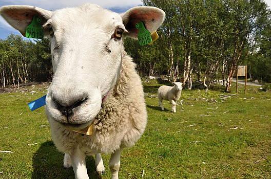 Smile sheep by Tomas Mahring