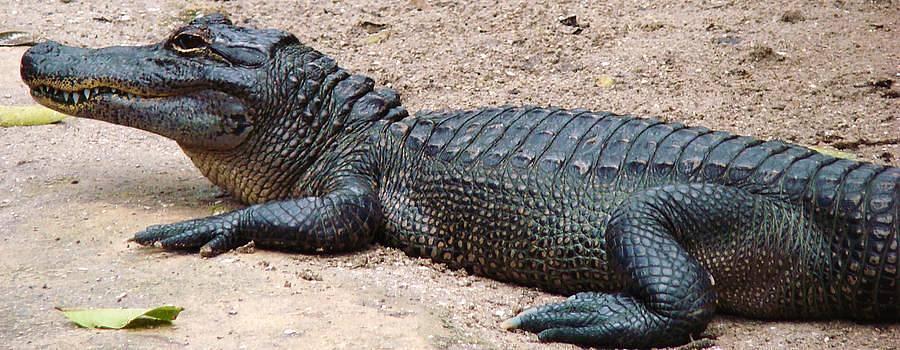 Smiley Gator by Van Ness