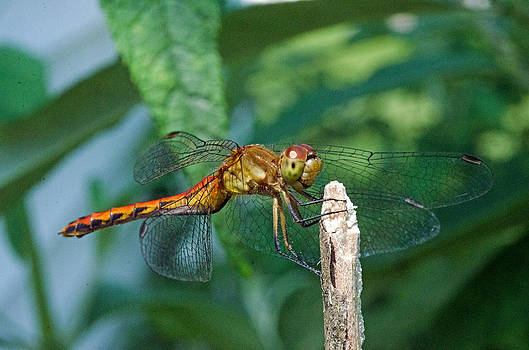 Smilin dragonfly by Cheryl Cencich