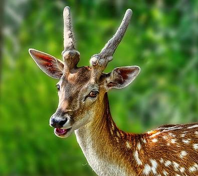Smiling Deer by Jeff S PhotoArt