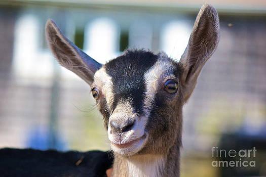 Amazing Jules - Smiling Goat