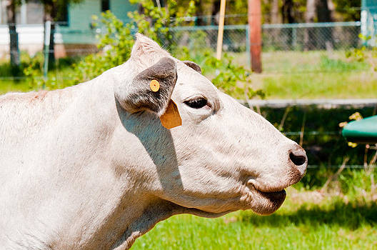 Smiling white cow by Tammy Abrego
