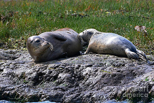 Susan Wiedmann - Snack Time for Baby Harbor Seal