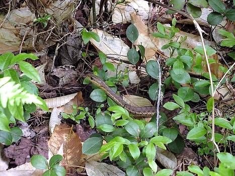 Gene Cyr - Snake