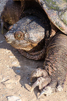 Snapping Turtle by Thomas Pettengill