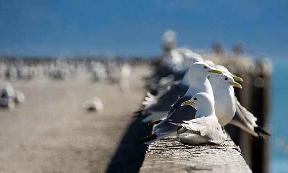 Debra  Miller - Snazzy Sea Gulls