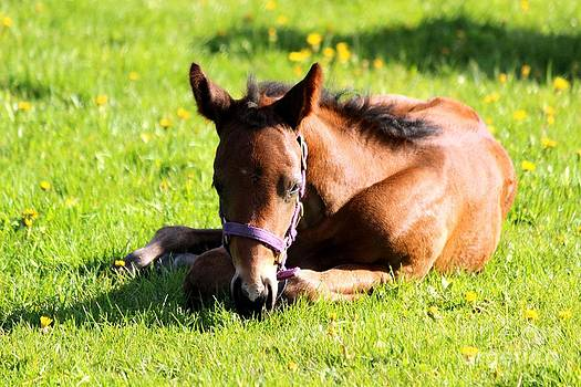 Janice Byer - Snoozing Foal