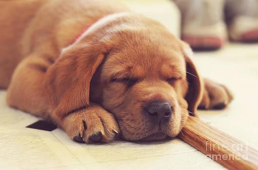 Rachel Barrett - Snoozing Lab Puppy