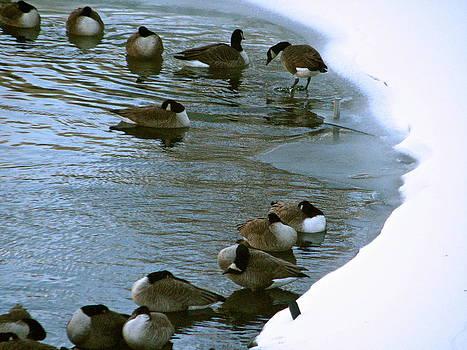 Sandy Tolman - Snow 01-03-14 -- 8119 Geese