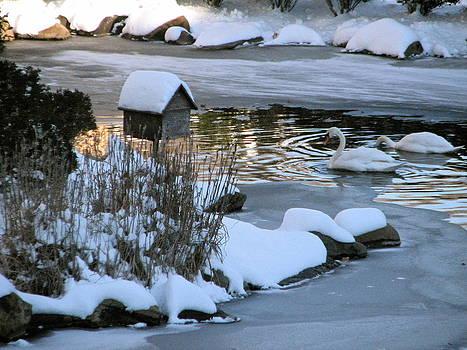 Sandy Tolman - Snow 01-03-14 -- 8103 Swans