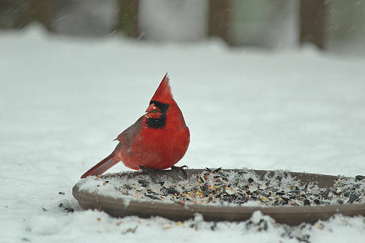 Snow Cardinal by Julie Andel