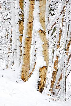 Snow covered Birch trees by John Kelly