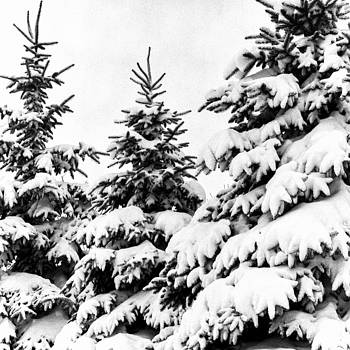 Snow Covered Evergreens by Lonnie Paulson