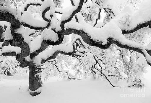 Oscar Gutierrez - Snow Covered Japanese Maple Tree
