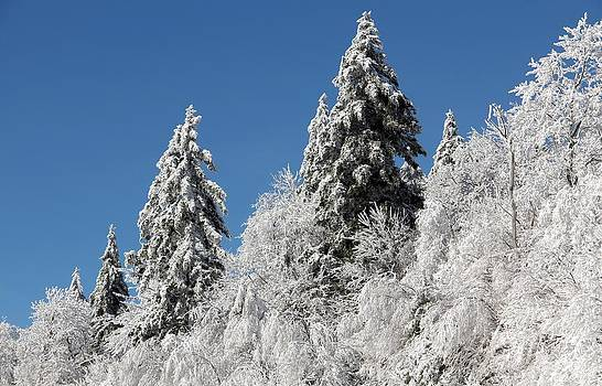 Snow Covered Red Spruce by Carolyn Postelwait