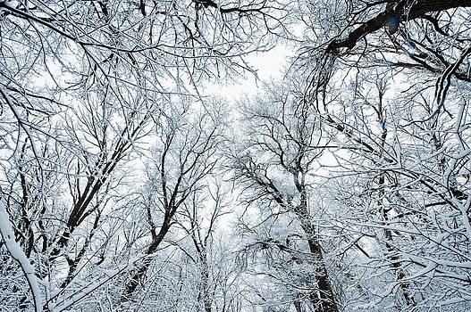 Snow Covered Trees by Christopher Broste