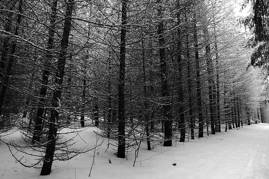 Snow Covered Trees by Jeff Picoult