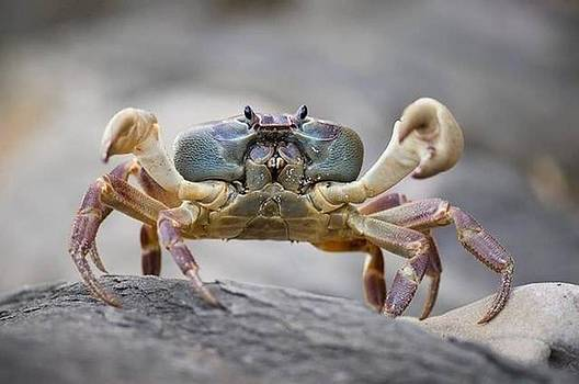 Snow Crab by Gary Rathjen