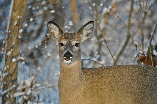 Snow Doe by Dave Weth