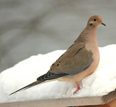 Rosanne Jordan - Snow Dove