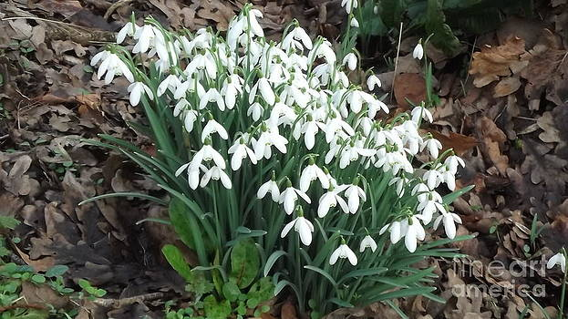 Snow Drops by John Williams