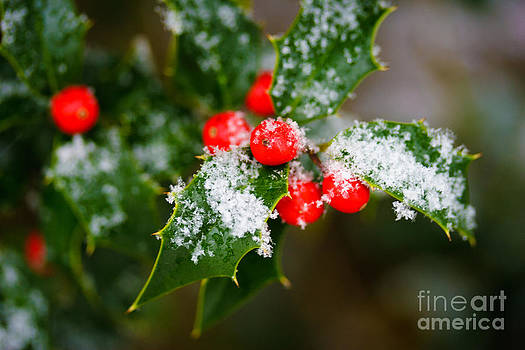 Snow-Dusted Holly Bush by Sharon Cuartero