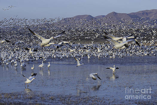 Tim Moore - Snow Geese at Sunrise