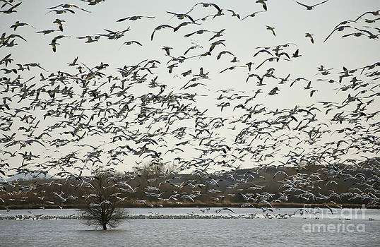 Snow Geese by Dee Johnson