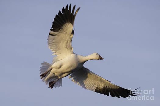Tim Moore - Snow Goose