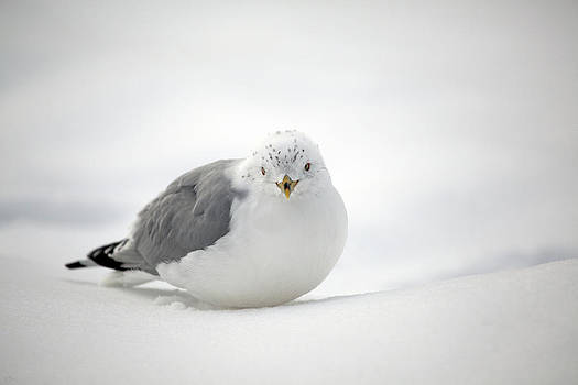 Snow Gull by Karol Livote