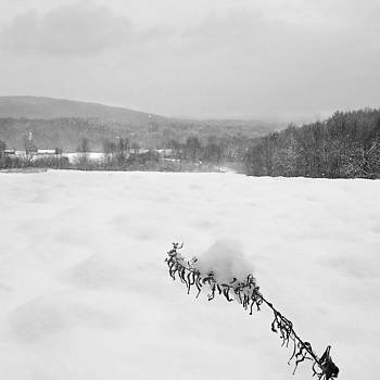 Chris Bordeleau - snow laden goldenrod
