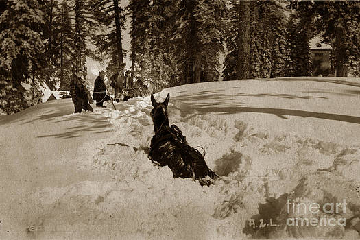 California Views Mr Pat Hathaway Archives - Horse way deep in Snow Lake Tahoe California circa 1910