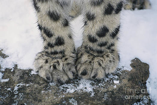 Thomas and Pat Leeson - Snow Leopard Feet