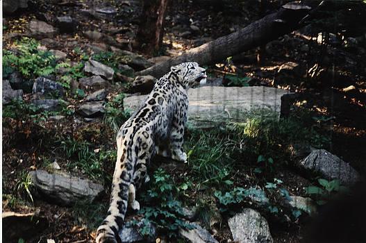 Snow Leopard by Gordon Larson