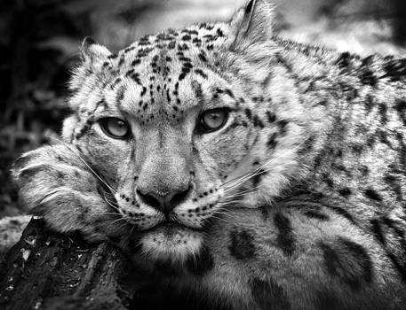 Snow Leopard in black and white by Chris Boulton