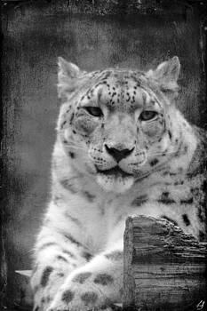 Linda Sannuti - Snow Leopard