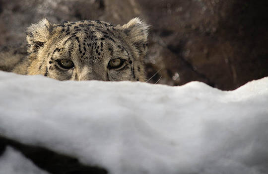 Mike Shaw - Snow Leopard