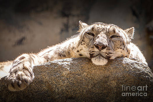 Snow Leopard Relaxing by John Wadleigh